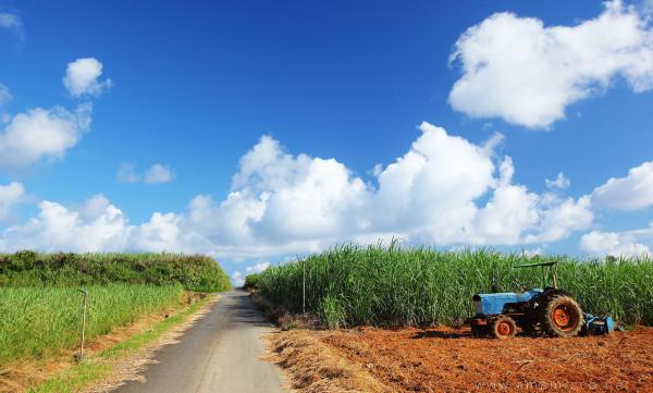5.島全体にひろがるサトウキビ畑